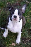 Foto Cachorros de Boston terrier